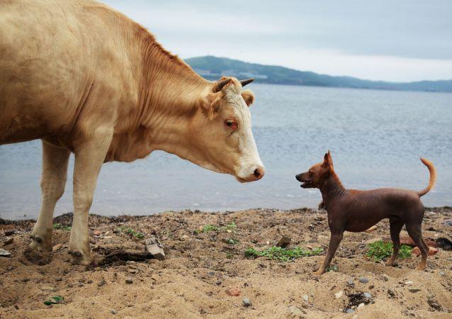 瑞典允許奶牛進入裸體浴場