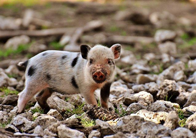 一美国女子买的小型猪长成百公斤大猪
