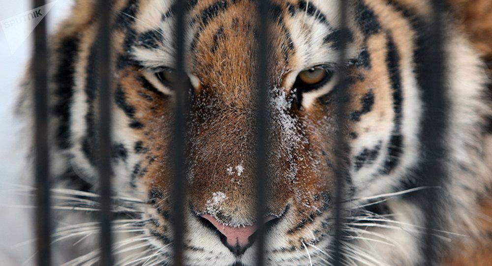 俄濱海邊疆區叼走邊防軍犬的老虎已被捕獲
