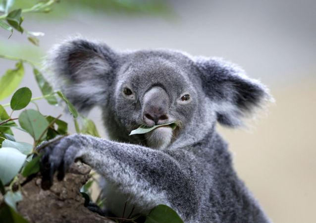 澳大利亞宣佈考拉瀕臨滅絕