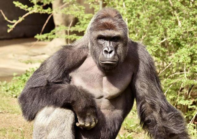 美国动物园大猩猩被饲养员传染新冠病毒