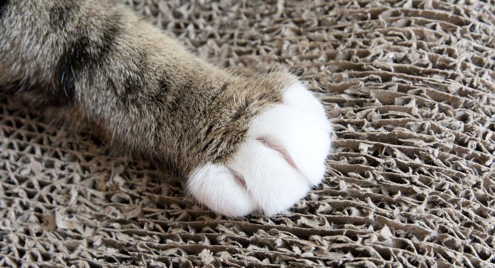 一只重达16公斤的猫惊现美国