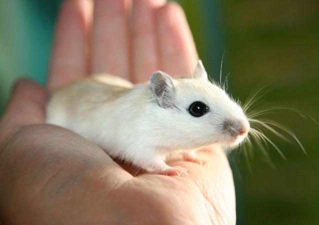 俄罗斯将于2024年向太空发射一颗载有鼠的生物卫星