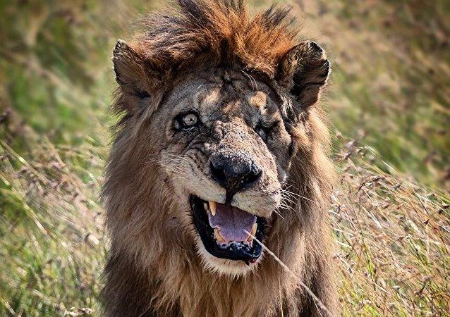 """肯尼亚自然保护区发现独眼雄狮 神似""""刀疤"""""""