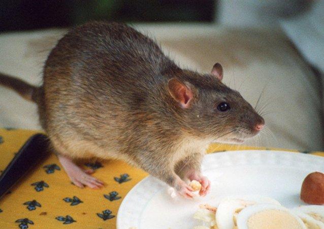 俄羅斯醫生用老鼠診斷癌症