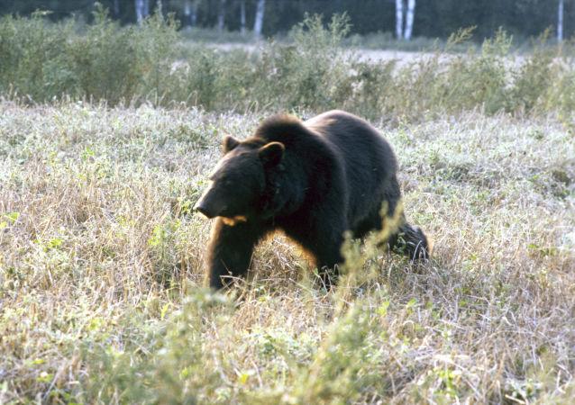 俄伊尔库茨克附近熊出没居民点的事件增多 警方正加强安全措施