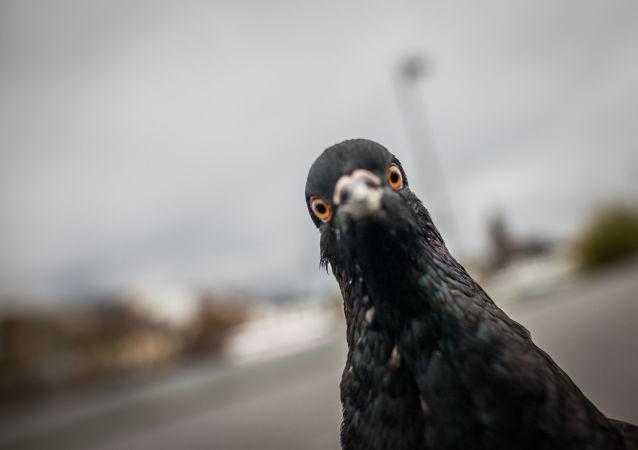 科學家稱因人類頭髮鴿子正在失去其腳趾