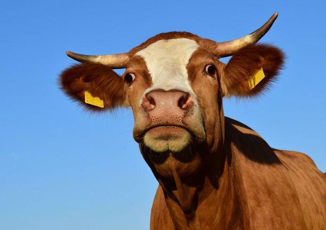 中企將在俄楚瓦什興建奶牛場