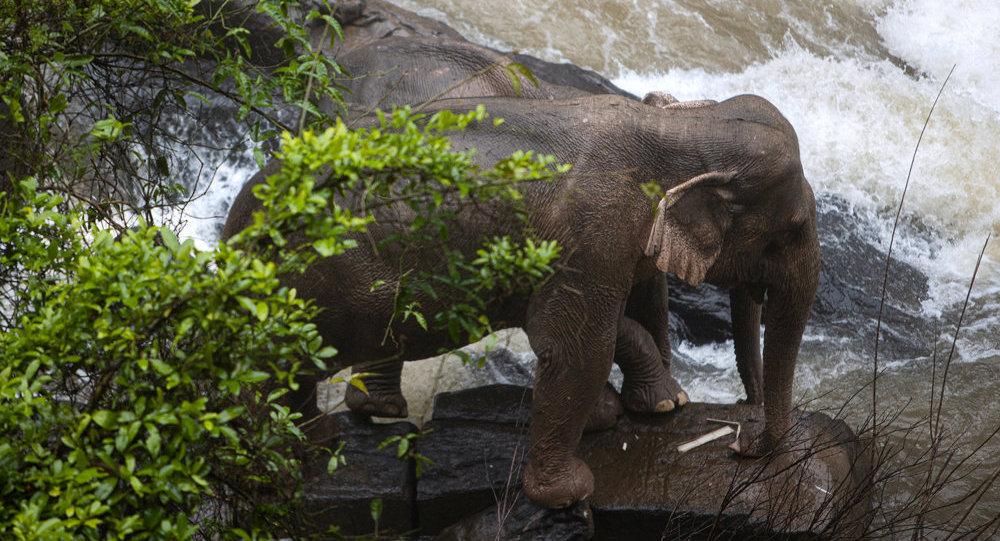 15頭野生大象組團旅遊 已到雲南玉溪