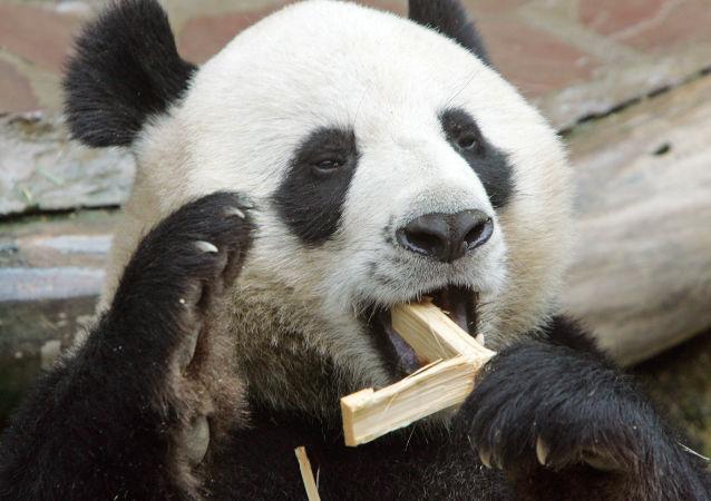 大熊貓(資料圖片)