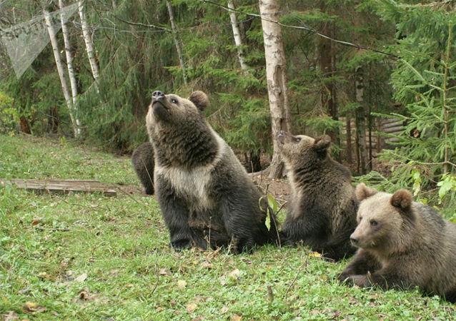 俄堪察加邊疆區數頭熊闖入居民區 2頭被擊斃