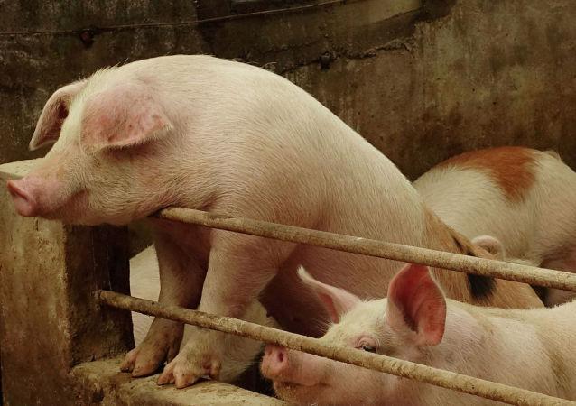 飯店顧客吃肥腸米線吃到豬糞便