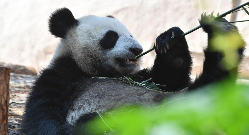 莫斯科動物園大熊貓丁丁