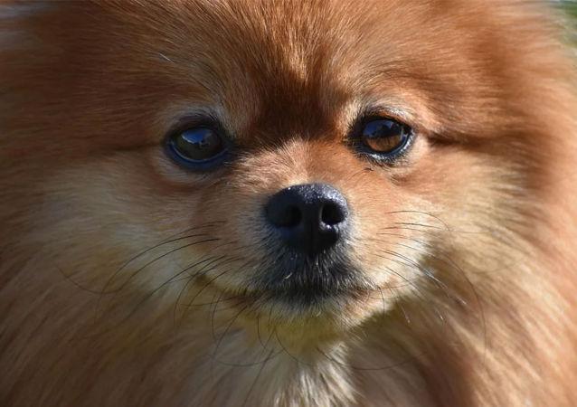 國家杜馬要求俄航把俄僑民留在中國的寵物帶回國