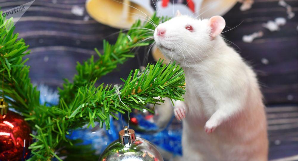 专家:老鼠会笑 不会置落难同类于不顾