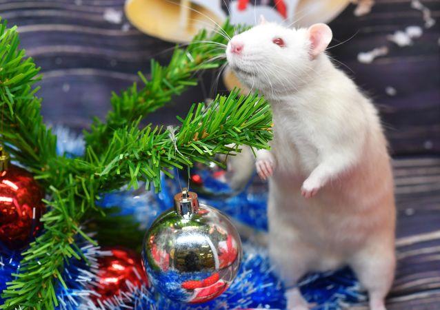 專家:老鼠會笑 不會置落難同類於不顧