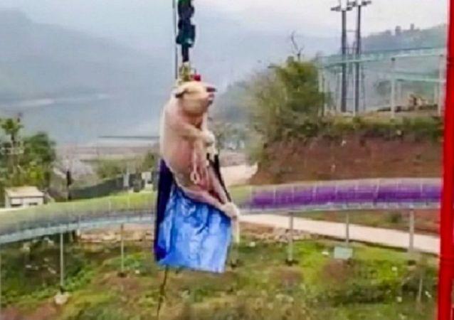 重慶一景區讓肥豬蹦極68米 慶祝蹦極項目開業