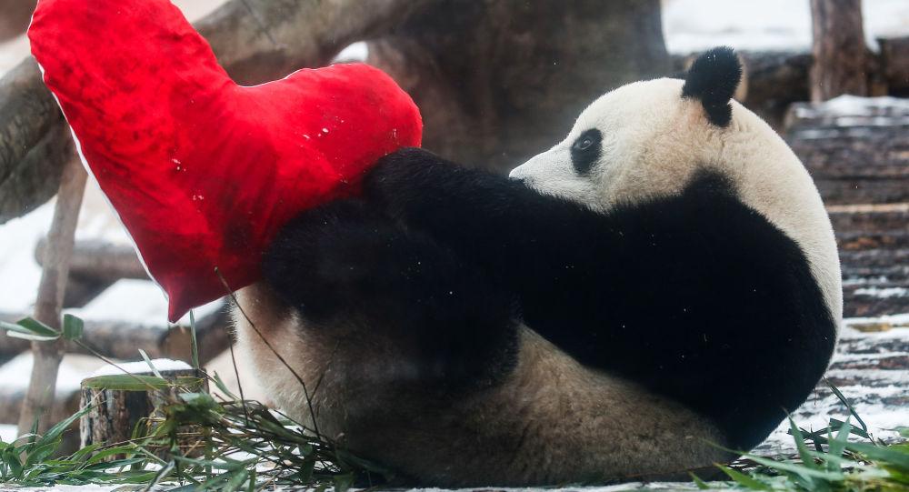 一对熊猫双胞胎在法国博瓦勒动物园诞生