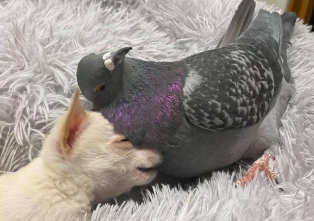 鴿子和吉娃娃的神仙友誼