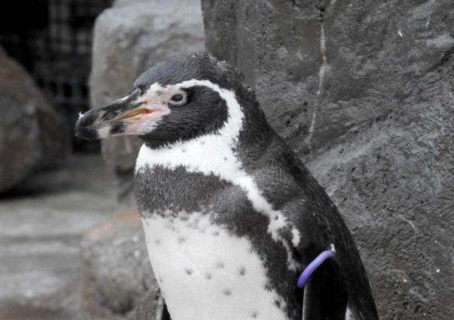 最老的雌性国王企鹅离世 寿命46岁