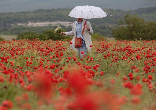 镜头中最美的花:克里米亚罂粟