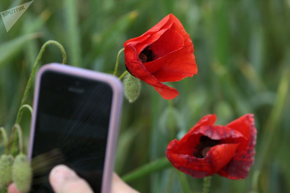 鏡頭中最美的花:克里米亞罌粟