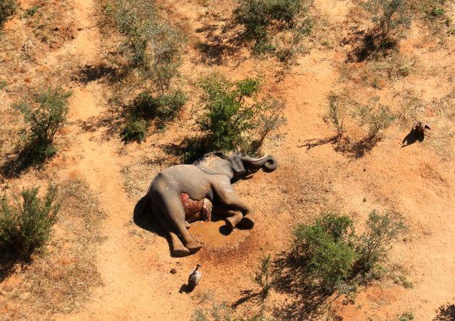 津巴布韋大象「神秘」死因已被查明